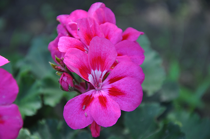 Good Body Products' lovely Geranium Flowers